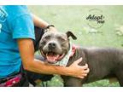 Adopt Jones Blue a Gray/Blue/Silver/Salt & Pepper American Pit Bull Terrier /