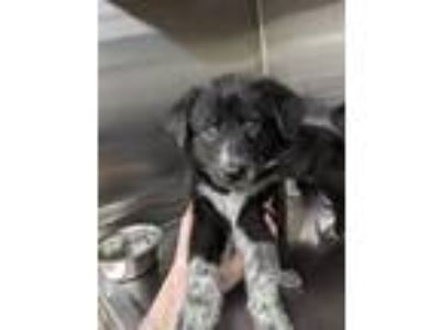 Adopt 41933958 a Black Border Collie / Mixed dog in Fort Worth, TX (25561665)