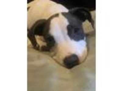 Adopt Oliver a White - with Gray or Silver Pit Bull Terrier / Pointer / Mixed