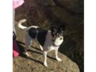 Adopt Pepper a White - with Black Rat Terrier / Jack Russell Terrier dog in