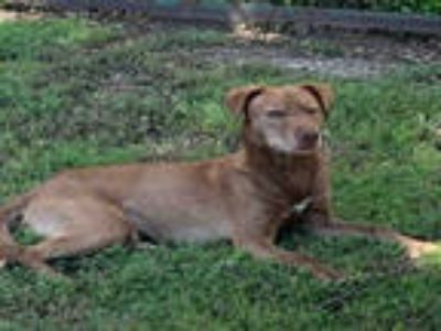 Adopt a Brown/Chocolate - with White Australian Kelpie / Mixed dog in Plano