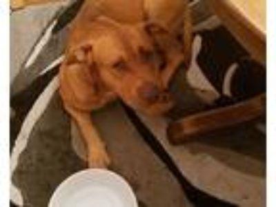 Adopt Leo a Tan/Yellow/Fawn Bull Terrier / Mixed dog in Warner Robins