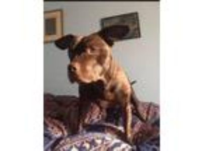 Adopt D-O-G (Deeogee) a Pit Bull Terrier, Mixed Breed
