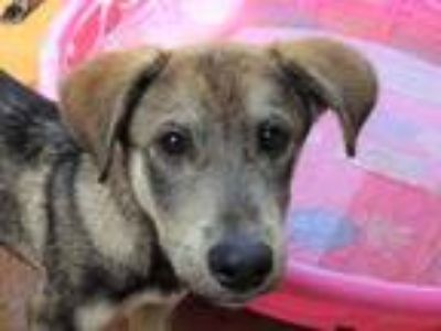 Adopt Sanjay a Shepherd (Unknown Type) / Mixed dog in Athens, AL (25921743)