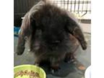 Adopt Tiger a Black Mini Lop / Mixed (short coat) rabbit in Waynesboro