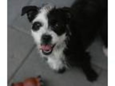 Adopt Gloria a Black - with White Terrier (Unknown Type, Small) / Mixed dog in