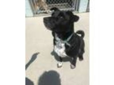 Adopt Rider a Black - with White Labrador Retriever / Mixed dog in Blountville