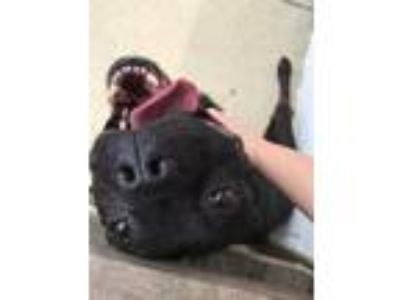 Adopt Loki a Black Mixed Breed (Medium) / Pit Bull Terrier / Mixed dog in