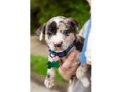 Adopt Savannah a Pit Bull Terrier, Catahoula Leopard Dog