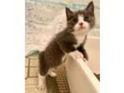 Adopt Guacamole a Gray or Blue (Mostly) Domestic Shorthair (short coat) cat in
