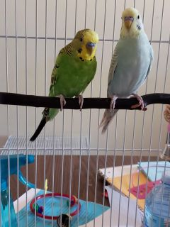 4 Male parakeets