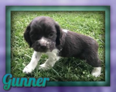 Gunner Male Cocker Spaniel ACA