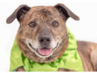 Adopt LOUIE a Brindle - with White Plott Hound / American Pit Bull Terrier /