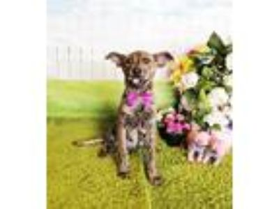 Adopt Lizzie a Brindle Labrador Retriever / Mixed dog in Castro Valley