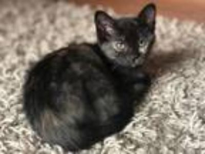 Adopt McGonagall a Domestic Short Hair