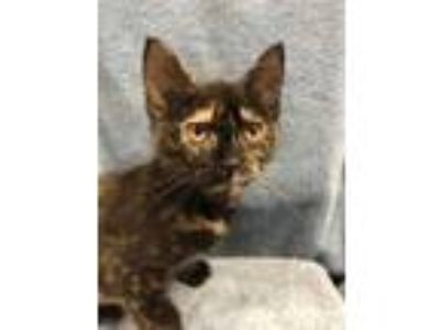 Adopt Tortie a All Black Domestic Shorthair / Domestic Shorthair / Mixed cat in