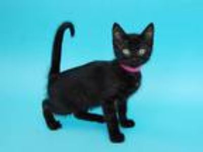Adopt PARKER a All Black Domestic Shorthair / Mixed (short coat) cat in St.
