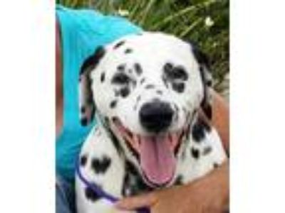 Adopt Cindy - Seeking Donors a White - with Black Dalmatian / Mixed dog in