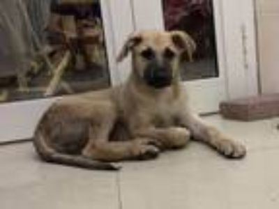 Adopt Balty a Tan/Yellow/Fawn - with Black Anatolian Shepherd / German Shepherd