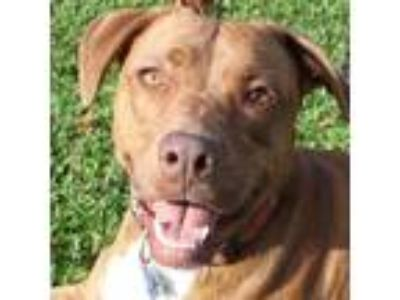 Adopt Louie a Brindle Pit Bull Terrier / Hound (Unknown Type) / Mixed dog in