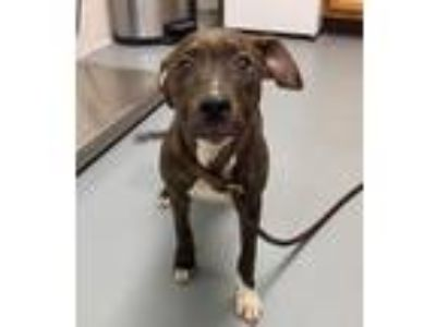 Adopt Vivian a Brindle - with White Mixed Breed (Medium) / Mixed dog in