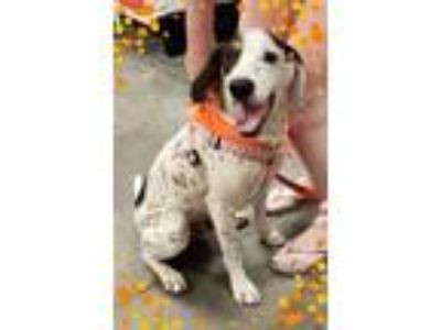 Adopt Phil a White Hound (Unknown Type) / Mixed dog in Kiln, MS (25329472)