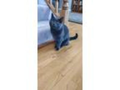 Adopt Vladmir a Gray or Blue Russian Blue (short coat) cat in South Bend