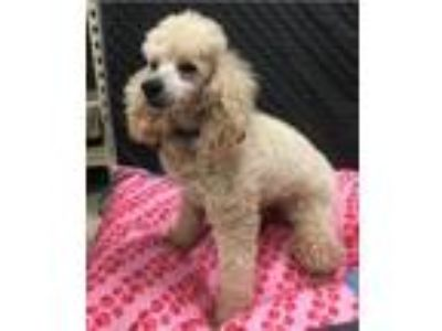 Adopt Tanner a Poodle