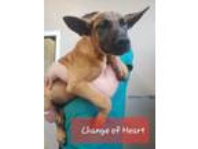 Adopt Change of Heart a Belgian Shepherd / Malinois, Black Mouth Cur