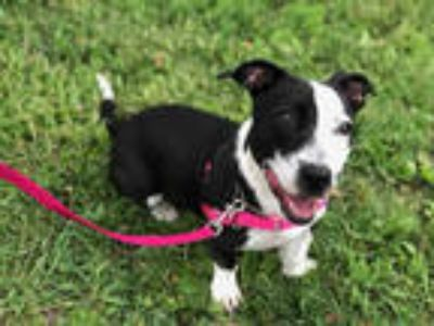 Adopt SPROUT a Black - with White Basset Hound / American Staffordshire Terrier