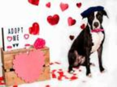 Adopt CHEWY a Mixed Breed, American Staffordshire Terrier