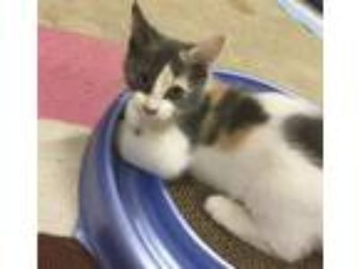 Adopt Snickers a Dilute Calico