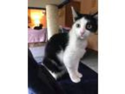 Adopt Tuxeda a Domestic Shorthair / Mixed (short coat) cat in Ocala