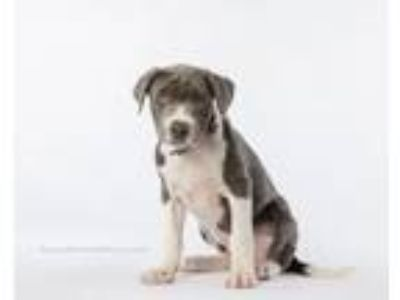 Adopt Dean a Catahoula Leopard Dog, Labrador Retriever