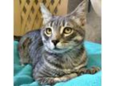 Adopt Chewy a Tabby