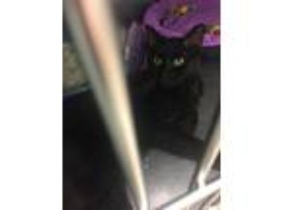 Adopt Mineo a All Black Domestic Shorthair (short coat) cat in Byron Center