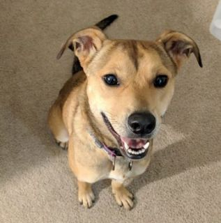 Unknown-German Shepherd Dog Mix DOG FOR ADOPTION ADN-71060 - Millie German Shepherd mix to adopt Charlotte NC
