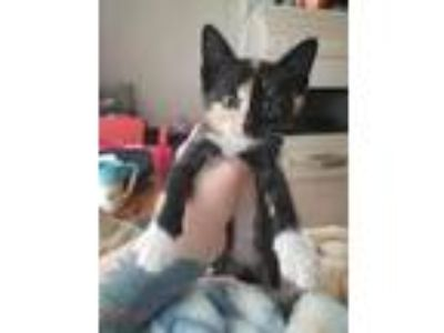Adopt Zuma a Calico or Dilute Calico American Shorthair (short coat) cat in