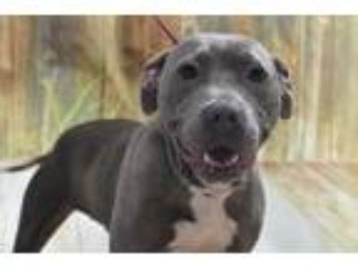 Adopt Blue Suede Shoes a Staffordshire Bull Terrier / Mixed dog in Fort Worth