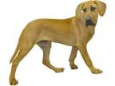 Adopt Kree a Tan/Yellow/Fawn Great Dane / Mixed dog in Inverness, FL (25946750)