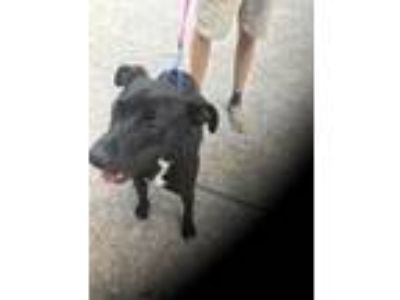 Adopt Sam a Black - with White Labrador Retriever / Pit Bull Terrier / Mixed dog