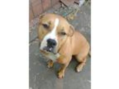 Adopt Zelda a Red/Golden/Orange/Chestnut - with White Pit Bull Terrier / Mixed