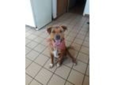 Adopt Jaxx a Tan/Yellow/Fawn - with White Labrador Retriever / Australian Cattle