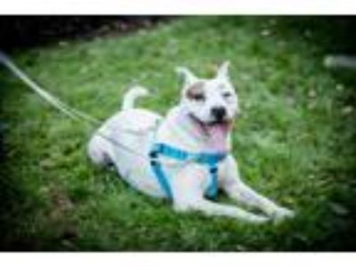 Adopt Tank a White - with Brown or Chocolate Pit Bull Terrier / Mixed dog in