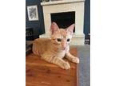 Adopt Paul a Orange or Red American Shorthair cat in Bedford, TX (25659854)