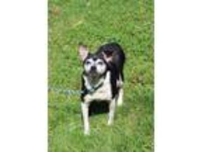 Adopt Stella a Black Rat Terrier / Mixed dog in Anderson, IN (23274910)