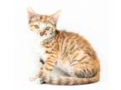 Adopt Felicia is fabulously snuggly! And what a beauty! a Bengal, Maine Coon