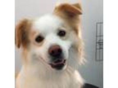 Adopt Chester a Corgi / Terrier (Unknown Type, Medium) / Mixed dog in Ellijay