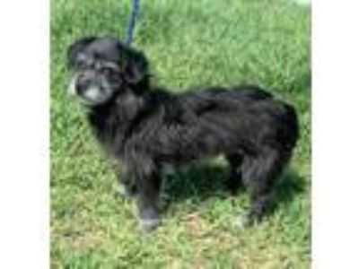 Adopt Petunia a Gray/Blue/Silver/Salt & Pepper Poodle (Miniature) / Mixed dog in