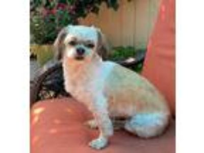 Adopt DOLLY a Tan/Yellow/Fawn - with White Shih Tzu / Mixed dog in BELL GARDENS